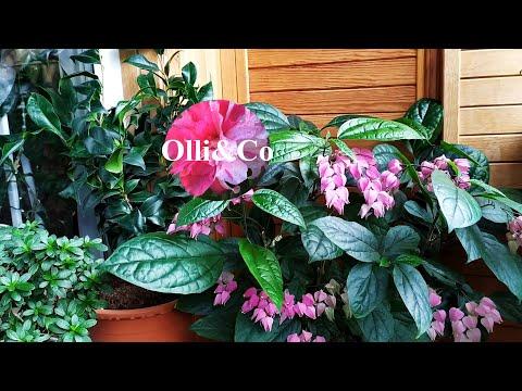 🍁Растения на балконе, осенний обзор моих комнатных цветов, растений  подготовка к осени🍁