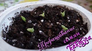 Проращивание семян кактуса безземельным способом