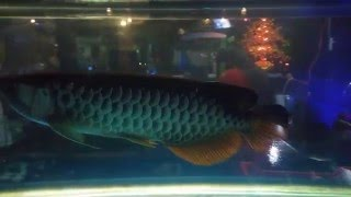 CÁ RỒNG ( Cá huyết long - Cá rồng đỏ - Loài cá đế vương )