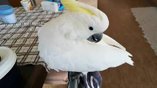 SAY HELLO, TO NIGEL THE CRAZY COCKATOO