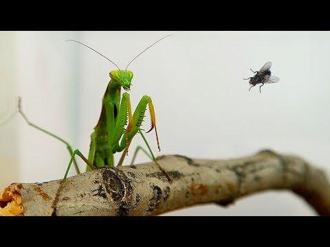 Террариум для Богомола и охота Богомола на муху! Alex Boyko