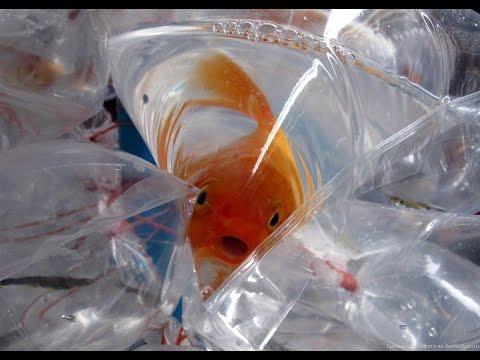 Как правильно пересаживать аквариумных рыбок в аквариум после покупки! #Аквариумные рыбки