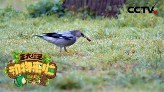 [正大综艺·动物来啦]丝光椋鸟不仅抢夺食物 还会占据其他鸟类的巢| CCTV
