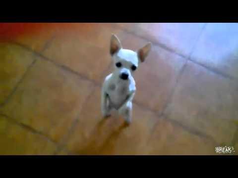Chó nhảy theo nhạc Hà Nam 247