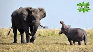 ELEFANTE Contra HIPOPÓTAMO - Documentales De Animales