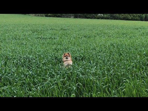 My pomeranian dog jumping in the fields