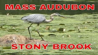 Great Blue Heron ~ Mute Swans And Cygnets ~ Canadian Geese At Mass Audubon Stony Brook