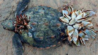 Паразиты чуть не съели бедное животное, но помощь человека дала второй шанс этой черепахе
