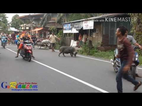 Babi berkeliaran dijalan pahlawan Bagansiapiapi