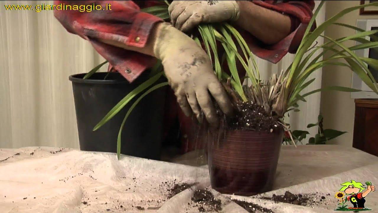 Coltivazione Orchidee Cymbidium