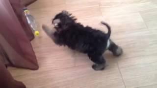 Цвергшнауцер Тайк и бутылка баклашка щенок 3 месяца и неделя