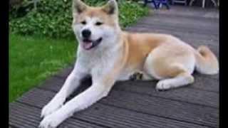 akita dog Japanese dog 日本の犬 『犬を飼いたいんだよ俺は!dog chann...