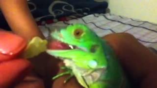 Feeding baby green iguana