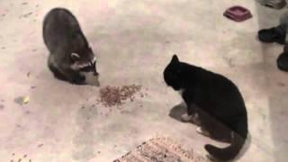 енот отбирает еду у кота