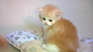 Тайгер ,котенок хайленд страйт