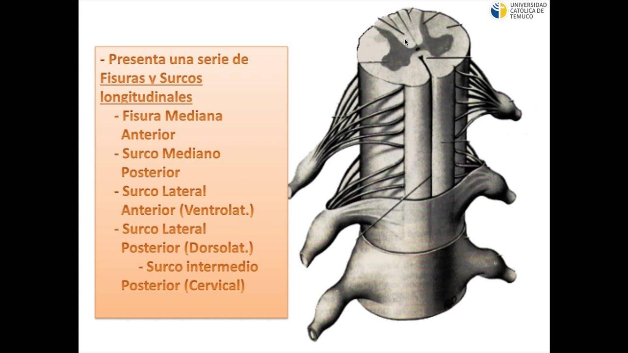 Médula Espinal - YouTube