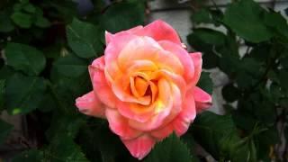 Хороший клип и цветы в хорошем качестве