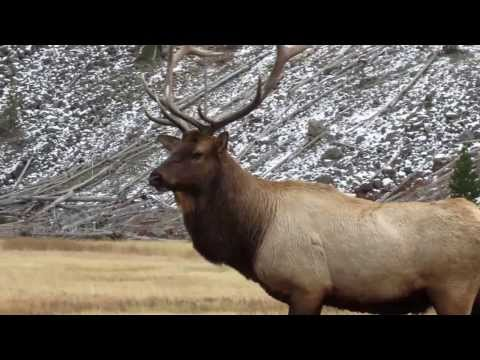 Yellowstone National Park Bull Elk on the Madison River