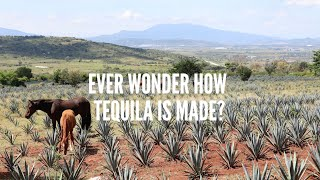 Ever wonder how tequila is made?