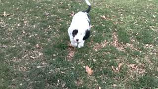 Ellie & Mowgli Sheepadoodle Puppies - 9 weeks old