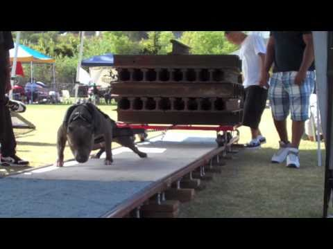 WEIGHT PULLING VIDEO pitbulls