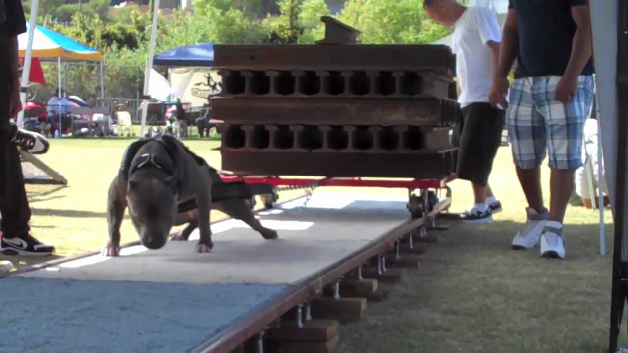 Weight Pulling Video Pitbulls You