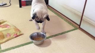 パグ犬ムゥが,御飯を食べている動画です。ムゥちゃんは,何故か御飯をば...