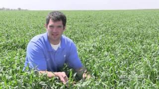 Amazing Field of Cereal Rye Grain