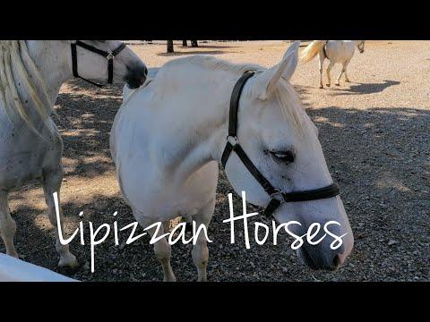Amazing Lipizzan horses from Lipica Stud Farm