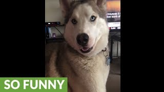 Vocal husky refuses to let owner leave home