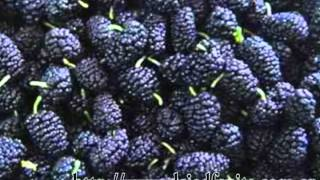 Eat Mulberry have a healthy life,Uncommon Dried Fruits,Maintain beauty and keep young