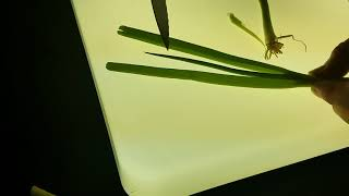 How To Clean scallions (Green Onions)From Bugs