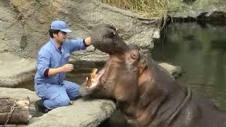 Ох, не лёгкая работа - чистить зубы бегемота ☝😎