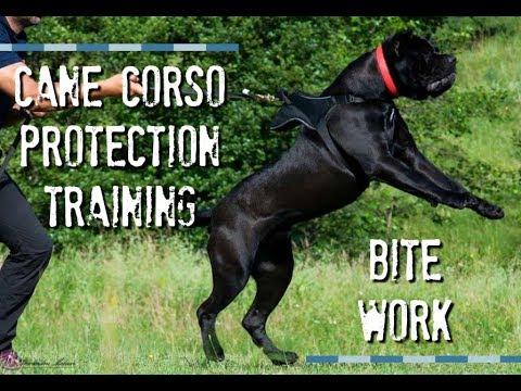 CANE CORSO CAIUS PRACTICING HIS BITE WORK - YouTube