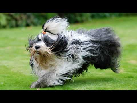 Tibetan Terrier - medium size dog breed