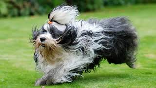 Tibetan Terrier  medium size dog breed