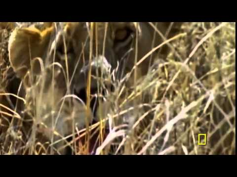 Documentales   Documental de Leones   National Geographic WILD 480p