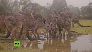 Animales celebran la llegada de la lluvia en Australia