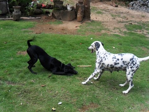 Dalmation and balck dog play for wood pices ESK TV