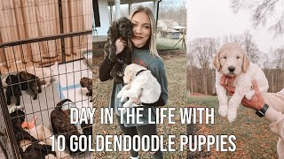 GOLDENDOODLE BREEDER DAY IN THE LIFE | what its like raising 10 goldendoodle puppies