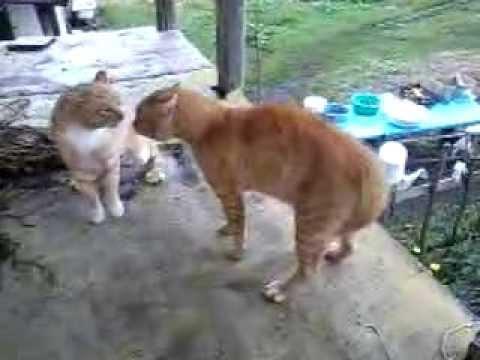 Рыжие коты дерутся