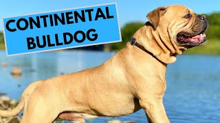 Continental Bulldog Dog Breed  Facts and Information