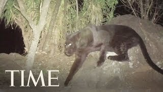 Rare Footage Of A Black Leopard In Kenya: