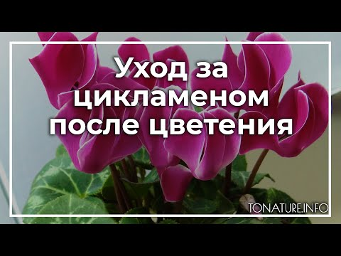 Уход за цикламеном после цветения | toNature.Info