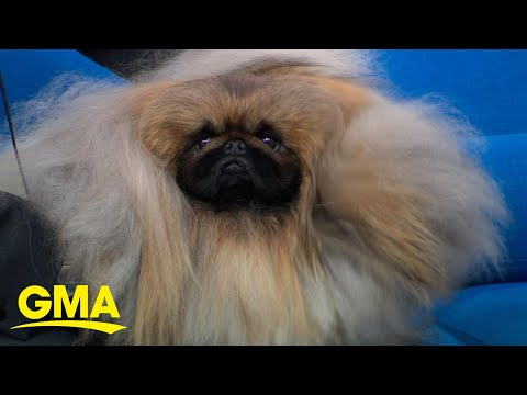 American Kennel Club dog show winner live in Times Square l GMA