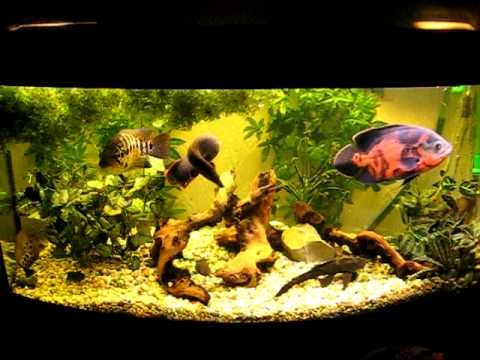 Oscar Fish, Fire Eel, Jaguar, Clown Knife, Plec, Hoplo, Polypterus