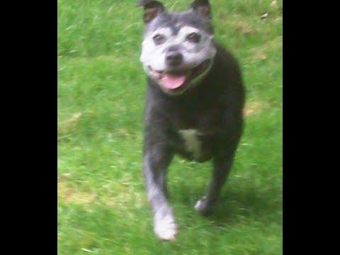 Staffordshire Bull Terrier Mallie.