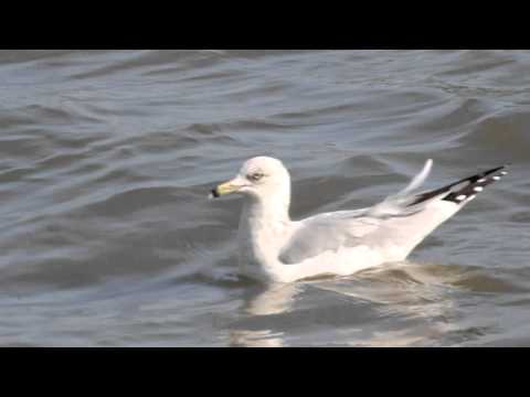 Seagull riding waves