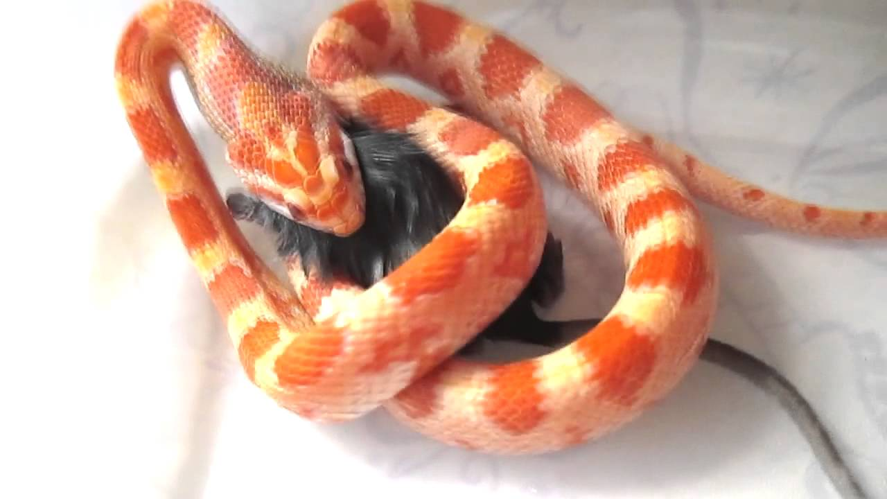 Why And How Do Snakes Constrict - YouTube