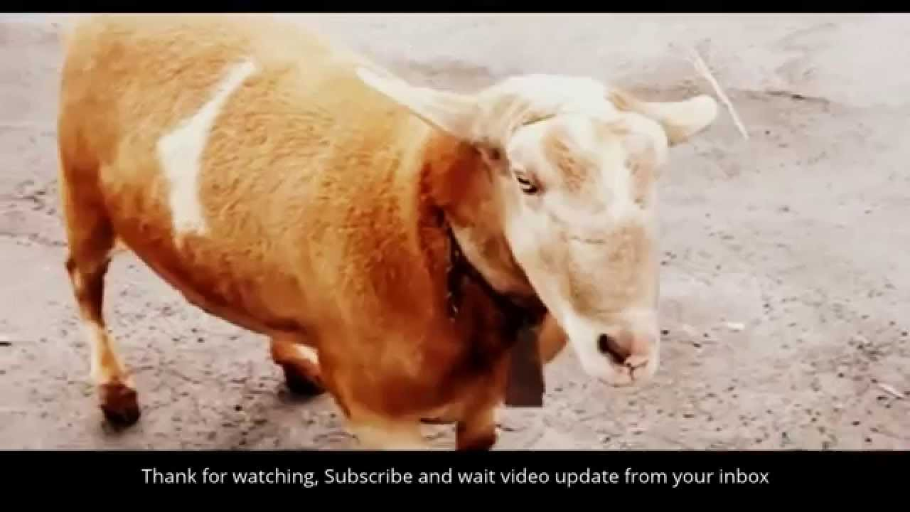Video animal sexy Category:Animal sex